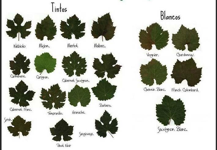 Como identificar a uva pela folha!